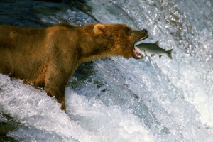 aaa bear_eating_fish